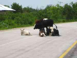 Cows on the road, Zanzibar, Tanzania (2012-05)
