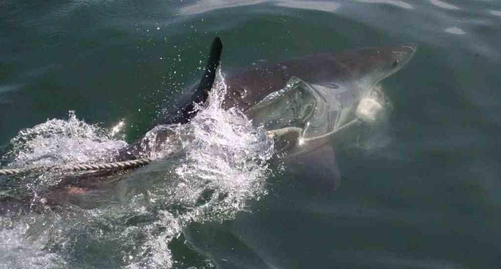 Shark in Gaantsbaai, South Africa (2012-03)