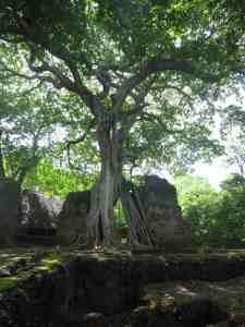 Big tree growing in the ruins, Gede, Kenya (2012-05)