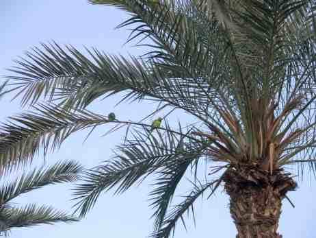Parrakeets in a palm tree, Eilat, Israel (2016-12-31)