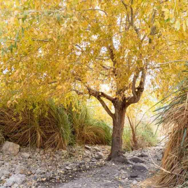 Foliage around Ein Gedi Spring, Ein Gedi Nature Reserve, Israel (2017-01-04)