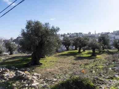 Ancient olive trees, Hebron, Palestine (2017-01-08)
