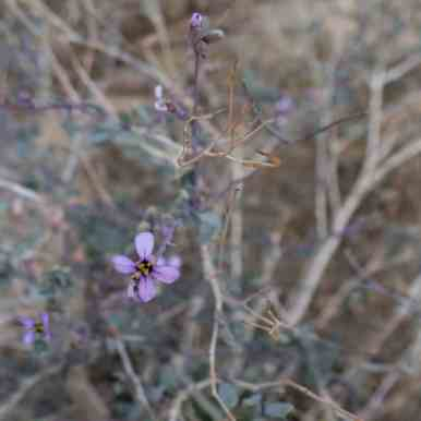 Flowers in Ramon Crater, Mitspe Ramon, Israel (2017-02-08)