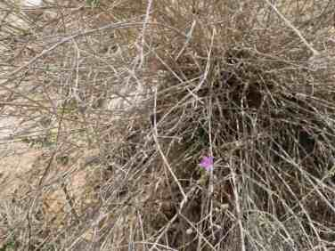 Fragile desert flowers towards Sde Boker, Israel (2017-02-09)