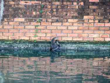 Monitor lizard in the channels of Bangkok, Thailand (2017-03)