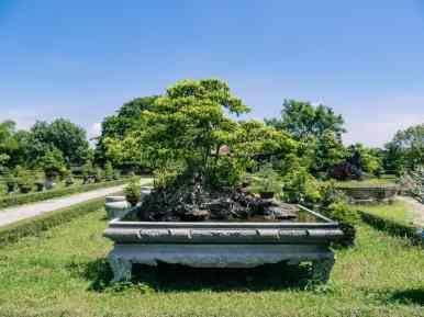Big bonsai tree in Co Ha gardens, Hue Citadel, Vietnam (2017-06)