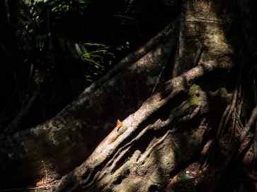 Butterfly under the Heritage Banyan Tree, Monkey Peak, Da Nang, Vietnam (2017-06)