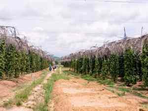 Kampot pepper plants, La Plantation, Kampot, Cambodia (2017-04-29)