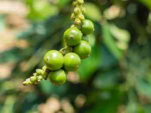 Kampot pepper berries, La Plantation, Cambodia (2017-04-29)