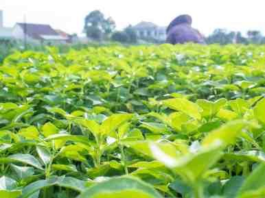 Herb firld in Tra Que Organic Village, Hoi An, Vietnam (2017-05)