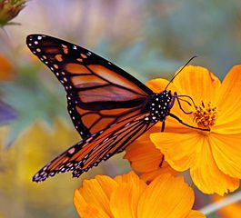 265px-Monarch_Butterfly_(6235522618) via wikimedia