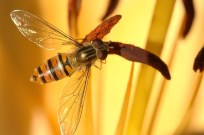 Syrphid or Hover Fly