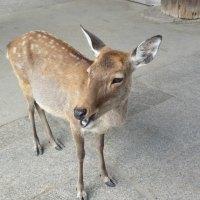 Attack of the Deer: Nara and Miyajima, Japan