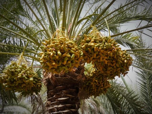 Dates - Al Qattara Oasis, Al Ain