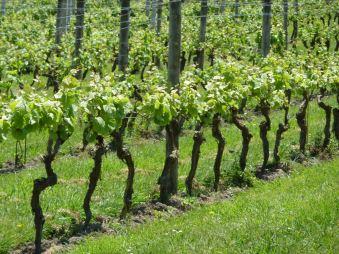 Row of vines
