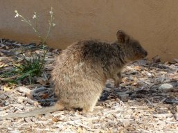 Quokka - small marsupial found mostly on Rottnest Island only