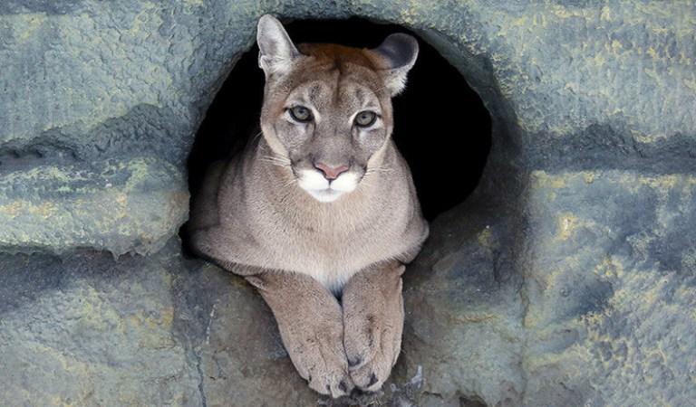 Declaran oficialmente extinto al Puma norteamericano del este