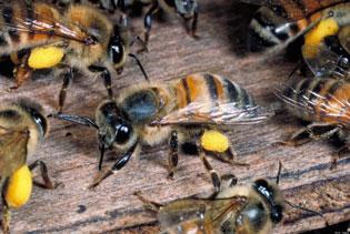 abejas-asesinas3