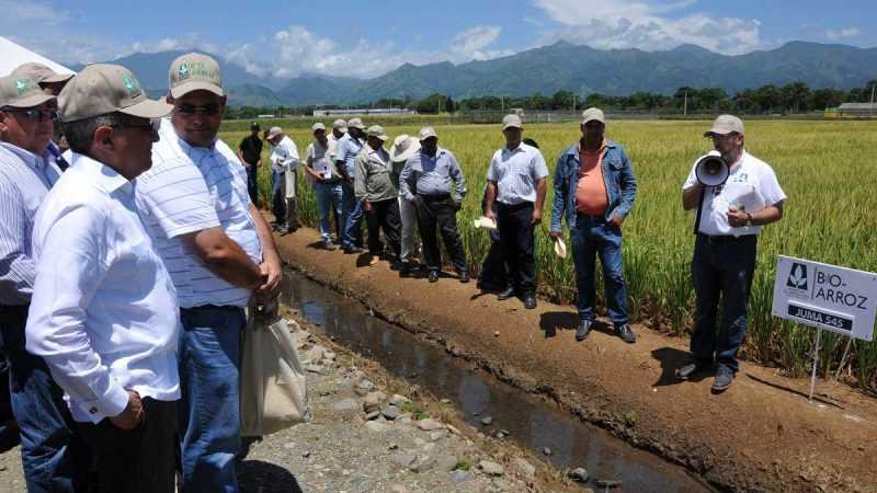 Agricultura anuncia mejoramiento genético del arroz