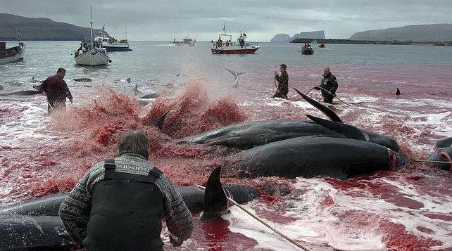 Resultado de imagen para fotos de cacería de ballenas en noruega