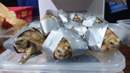 trafico de tortugas