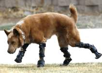 Foto Perro Nakio - Naki el unico perro con protesis bionicas en todas sus patas