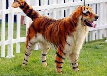 f7a0a54c92471ac4480e727e4ccf93df - Perros Panda y Perros Tigre en China