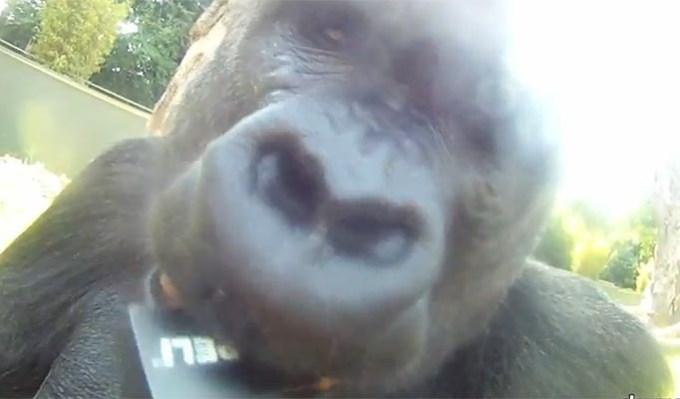 f7f8c4727a011019fe43a7eaa92bf9a5 - El gorila que filma sus propias películas