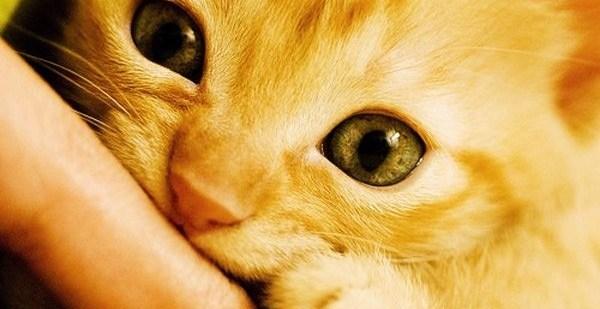 b17c53c18ff7ca8e1552342fd3800fee - 50 curiosidades sobre gatos