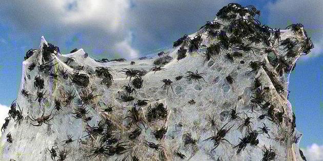 24ac8218ec2db84c29be7b837cf10e26 - Miles de arañas invaden pueblo en Australia obligando a sus habitantes a evacuar