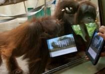 964a78b2d96f3061f52701ec46354cb6 - Orangutanes en Estados Unidos se comunicarán con iPads