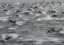 ef5a1e9409d1f4c3a747bfe56a864be4 - Vídeo: Miles de delfines abandonan las costas de California