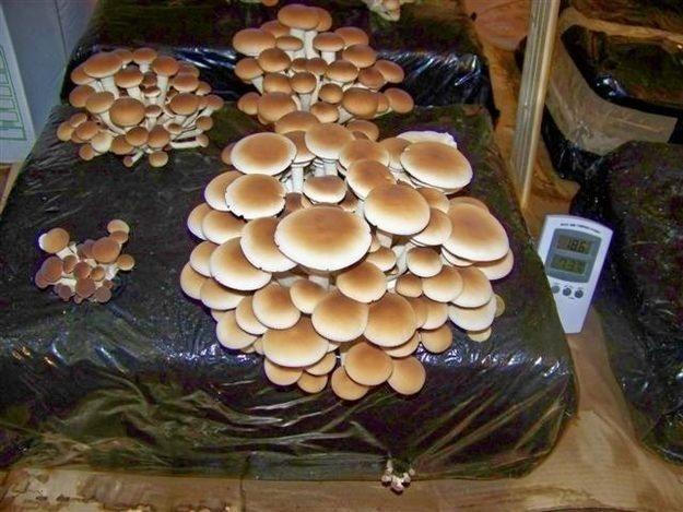 En esta foto y las fotos de abajo la especie de hongo es Pleurotus ostreatus.