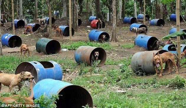 d23c6c4ffcb8aba8c60fb49fbdd9a263 - 300 pitbulls fueron rescatados de perreras secretas donde eran entrenados para peleas ilegales