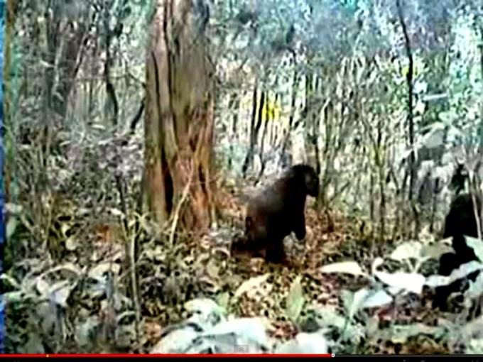 4da167b47b42cedc21eda925acac1c94 - Consiguen grabar en video al gorila más extraño del mundo