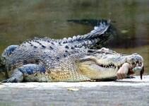 765270ac82d01142afd62eba00f273bb - Un cocodrilo arranca la mano al capitán de un barco turístico