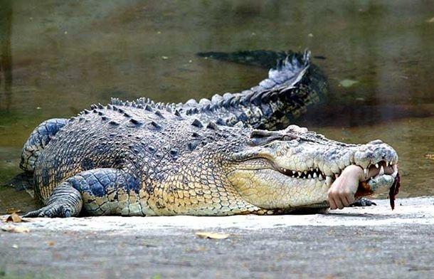 Un cocodrilo con un brazo humano en la boca.