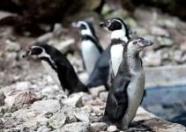 """7a8fe2fc2393e35fb76dc32a82ef4bcd - Salen a la luz las """"depravadas"""" costumbres sexuales de los pingüinos"""