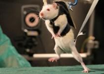 f93fa0e8e5d3e806a9d8fb14ab3d83a3 - Logran que ratas paralíticas vuelvan a caminar
