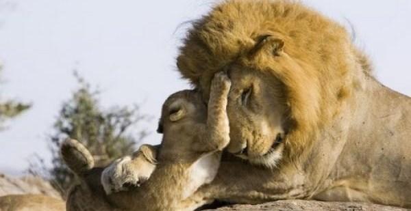 9b5ae2ddd25a714803c8e62862b17d63 - Conmovedor: bebé león conoce por primera vez a su papá