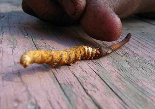 b9b77f081bb2978ed46184872074bae1 - Descubren un hongo en el Himalaya diez veces más potente que la Viagra