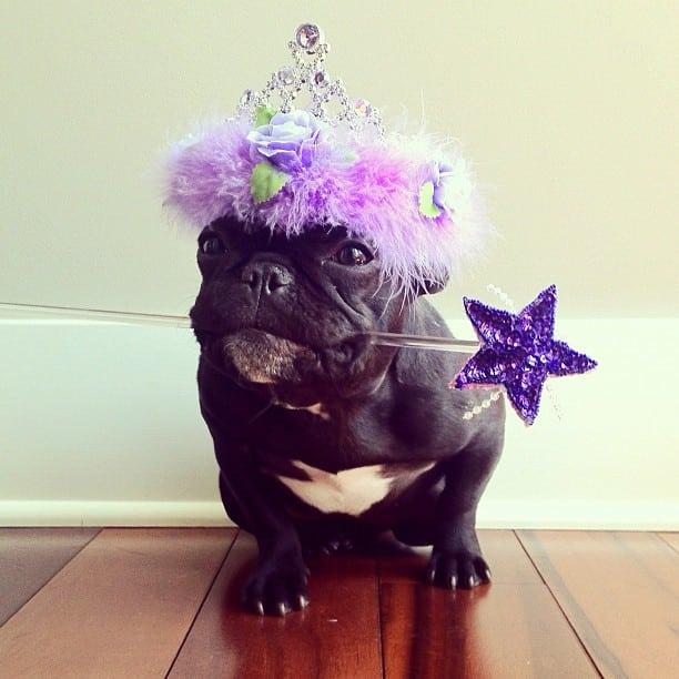 bulldog gracioso 03 - ▷ Trotter el bulldog frances mas gracioso de Instagram 😍