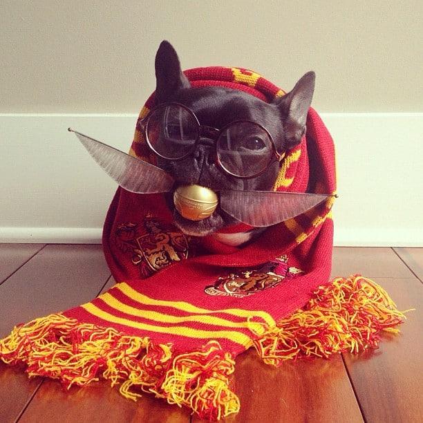 bulldog gracioso 05 - ▷ Trotter el bulldog frances mas gracioso de Instagram 😍