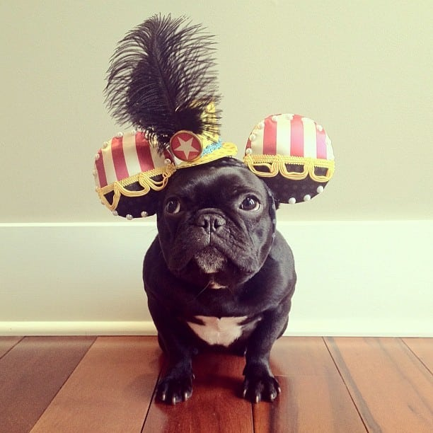 bulldog gracioso 08 - ▷ Trotter el bulldog frances mas gracioso de Instagram 😍