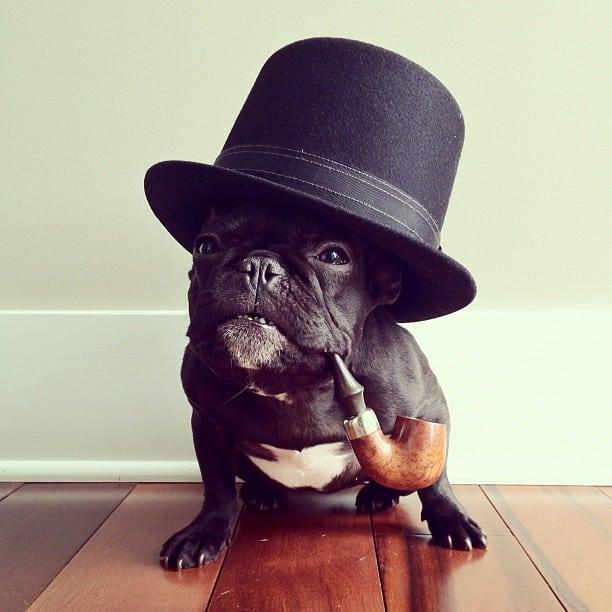 bulldog gracioso 11 - ▷ Trotter el bulldog frances mas gracioso de Instagram 😍