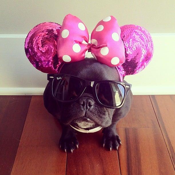 bulldog gracioso 15 - ▷ Trotter el bulldog frances mas gracioso de Instagram 😍