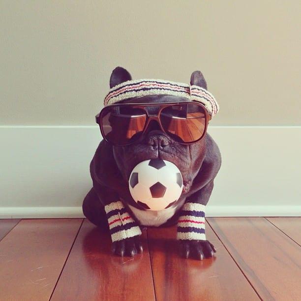 bulldog gracioso 18 - ▷ Trotter el bulldog frances mas gracioso de Instagram 😍