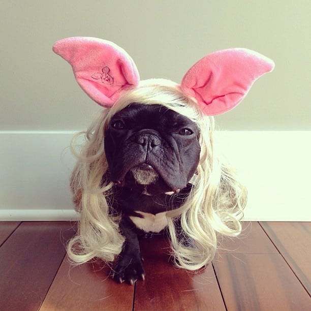 bulldog gracioso 20 - ▷ Trotter el bulldog frances mas gracioso de Instagram 😍