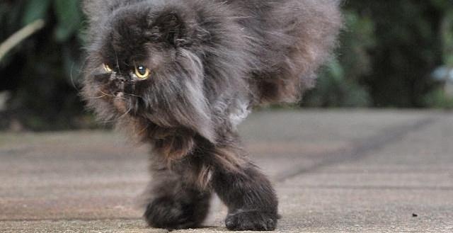 da497ded6b58ebe690c1a1ad4e7cb3a9 - #Video Caffrey, un gato que sabe andar solo con las patas derechas