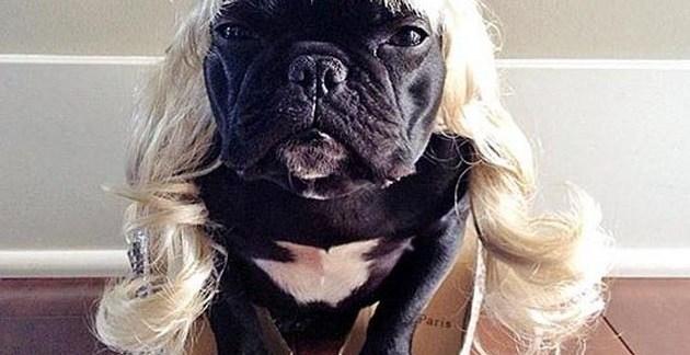 f675ce04dc7aa4c3b4cdff9d97e129a0 - ▷ Trotter el bulldog frances mas gracioso de Instagram 😍